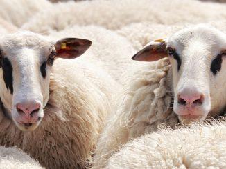 antidemokratiska fårskallar
